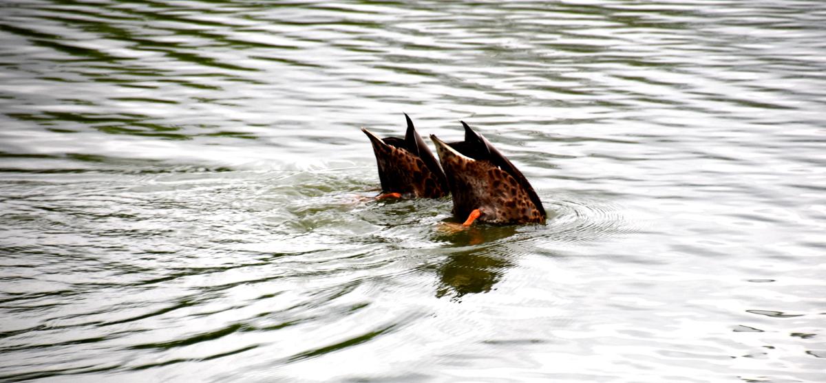 Szombat délutáni kacsák